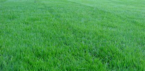 Lolium Perennial Grass Seed
