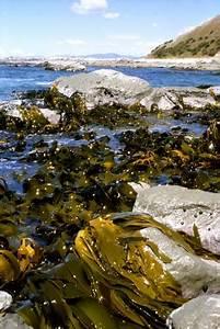 Bull Kelp  U2013 Seaweed  U2013 Te Ara Encyclopedia Of New Zealand