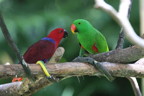 wallpaper amazon parrot antilles island bird green red