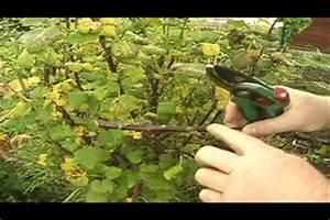 Hibiskus Wann Zurückschneiden : schwarze johannisbeere schneiden ~ Lizthompson.info Haus und Dekorationen