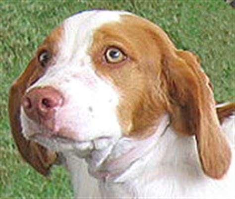 brittany spaniel dog sporting dog breeds online dog