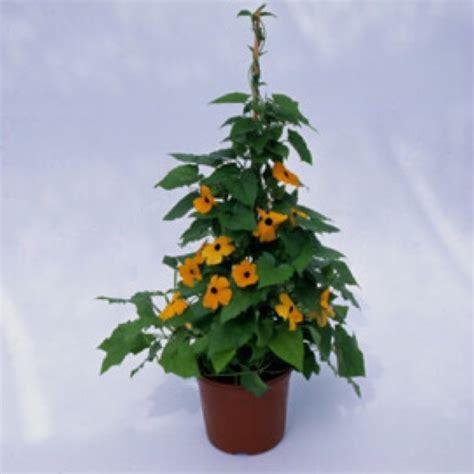 black eyed susan vine susie friends school plant sale