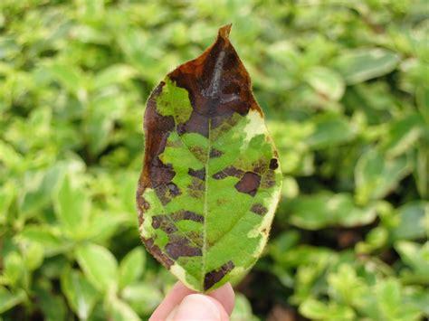 Offshoots: Late Summer Pest: Foliar Nematodes