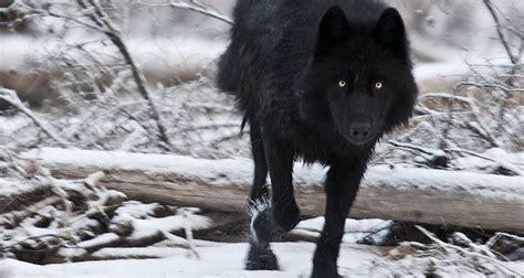 Black Wolf Wallpaper by Black Wolf Wallpaper 64 Images