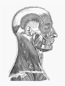 U0026quot Head And Neck Muscular System