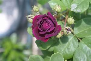 Couleur Complémentaire Du Rose : roses du jardin par couleurs mascotte chouchou et rosier ~ Zukunftsfamilie.com Idées de Décoration