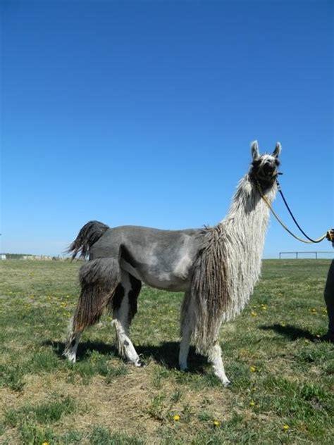 suri llama watertown llamas llamas  sale