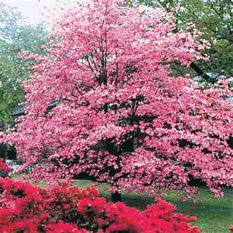tree with pink flowers name bear creek nursery botanical tree names plant images c z