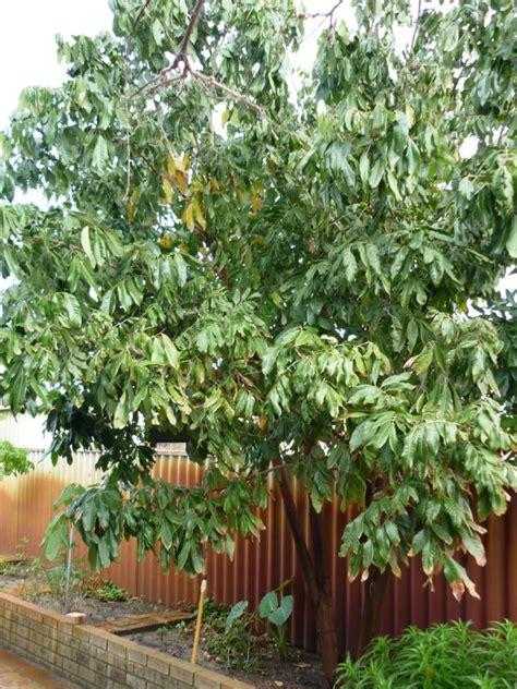 forum fruit trees  perth wa