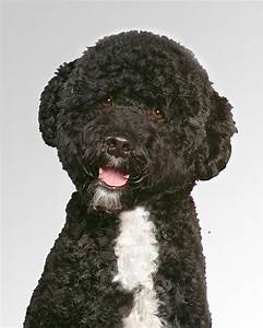 portuguese water dog haircuts portugese water dog dog ...