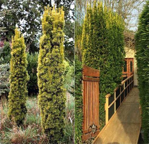 Sichtschutz Pflanzen Kleiner Garten by S 228 Uleneiben F 252 R Schmale Hecke Im Kleinen Garten Pflanzen