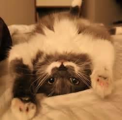 hamilton the cat hamilton the cat is like so it