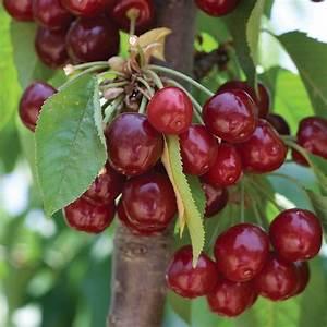 Cherry  U0026 39 Stella U0026 39