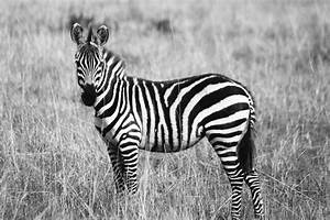 White And Black : black and white zebra patternt free stock photo ~ Medecine-chirurgie-esthetiques.com Avis de Voitures