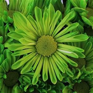 Lime Green Daisy Flower Enhanced