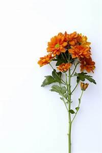 Lilie Symbolische Bedeutung : die chrysantheme eine blume strotzt vor symbolik toll was blumen machen ~ Frokenaadalensverden.com Haus und Dekorationen
