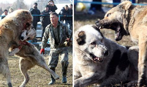 dog fighting  kyrgyzstan horrifying reality  cruel