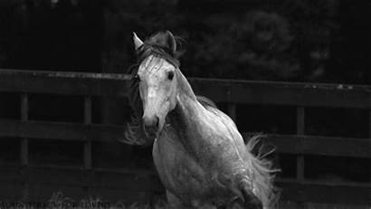Horse Horses Grey Dapple Soundtrack Equine Lovers