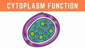 Cytoplasm Function   More Than Just The Clear Liquid Of