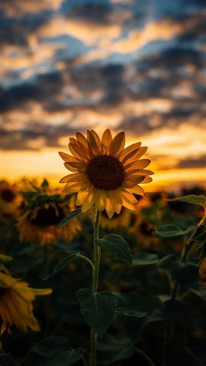 Sunflower Pretty Wallpapers Iphone Android