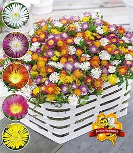 Blumen Winterhart Mehrjährig : winterharte eisblumen farbmix top qualit t baldur garten ~ Whattoseeinmadrid.com Haus und Dekorationen