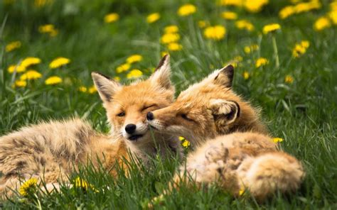 Summer Animal Wallpaper - two foxes animals grass summer wallpaper animals