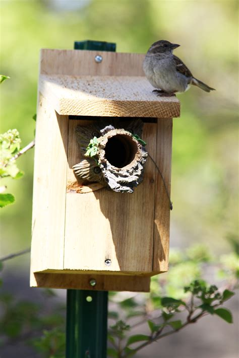 file sparrow perching on birdhouse nest jpg wikimedia