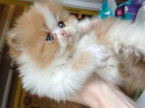 Persian Cat White Price  7 Charming Persian Cat Price