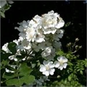 Rosen Ohne Dornen : rosen ohne dornen stacheln rosa multiflora ~ Lizthompson.info Haus und Dekorationen