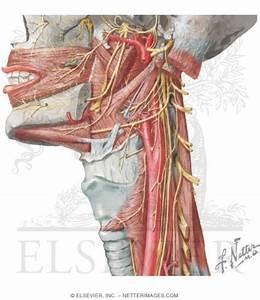Nerve Supply Of The Pharynx