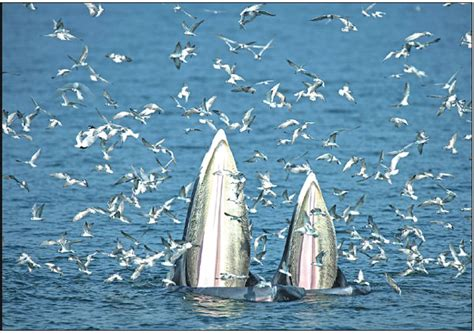 female bryde  whale   calf feed  anchovies