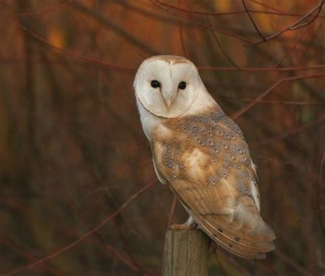 barn owl facts 12 barn owl facts you need to discover wildlife