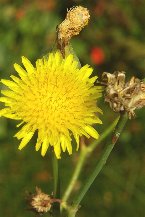 weeds with yellow flowers giz images weed post 2