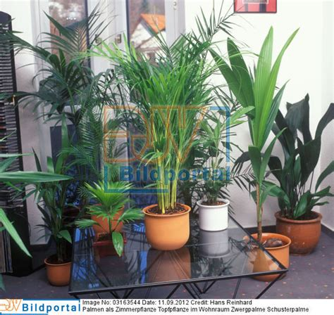 Schusterpalme Als Zimmerpflanze by Details Zu 0003163544 Palmen Als Zimmerpflanze