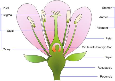 Diagram Of Flower Part by Flowers