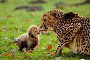 Vitesse Des Animaux : un bebe guepard avec sa maman blog de animaux08800 ~ Medecine-chirurgie-esthetiques.com Avis de Voitures