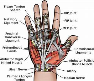 In The Thumb Ligaments Diagram