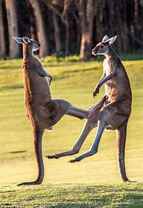 The moment two massive red kangaroos square up to each ...