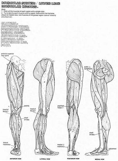 Anatomy Coloring Muscle Muscles Pages Diagram Human