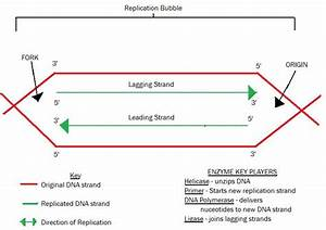 Olearybio  Dna Replication Study Guide