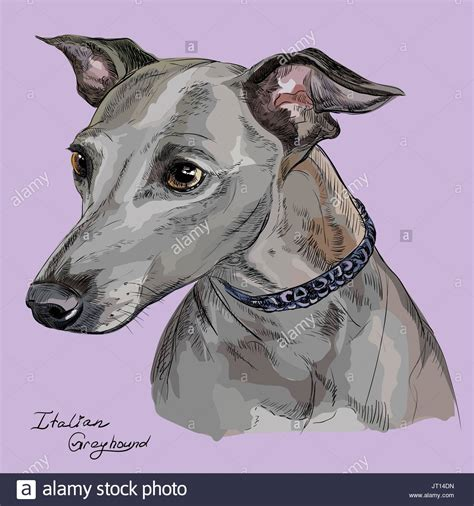 foto de Italian Greyhound Portrait Stock Photos & Italian