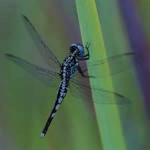 Dragonfly L by Sir David Attenborough Finally Meets His Dragonfly Forbes