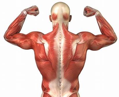 Muscles Anatomy Muscle Singing Muscular System