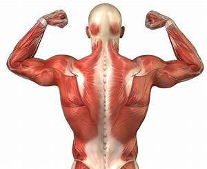 Muscles Of The Back | Search Results | Calendar 2015