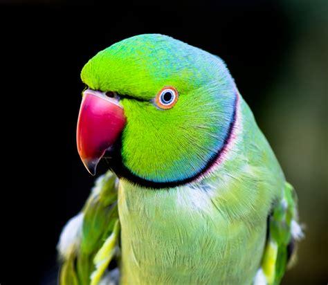 indian ringneck parakeet indian ringneck parakeet we shall call him dino flickr