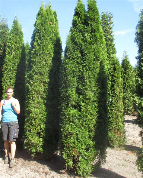 thuja occidentalis smaragd white cedar smaragd