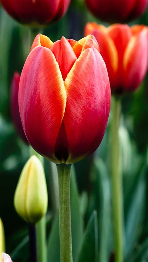 wallpaper tulips bloom garden hd flowers