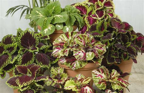 best potted plants for shade q a colorful potted plants for shade houston grows