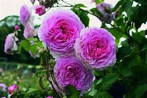 Rosen Ohne Dornen : rose james galway im grossen container ~ Lizthompson.info Haus und Dekorationen
