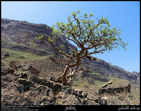 boswellia sacra tree dhofari frankincense boswellia sacra tree in fizah al f flickr photo sharing
